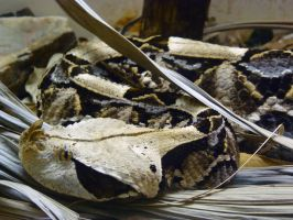 Gaboon Viper by InfinityandOne