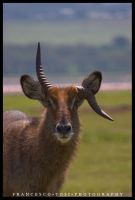 Kenya Wildlife 61 by francescotosi