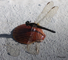 DragonFly Shell by Piucca