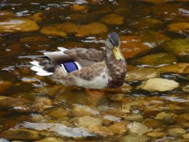 Duck at Bolton Abbey by Distorted-Colours