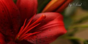 red lily 1 by SouLitta