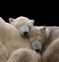 Sleeping Polar Bears by miezbiez