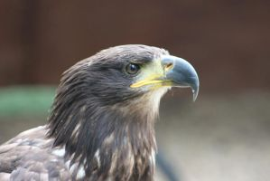 Golden Eagle by Skarkdahn
