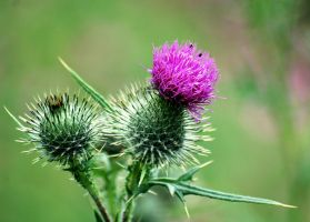 Thistle in bloom 2 by Mark-Allison