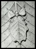 Leaf Insect by Kendezi