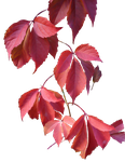 autumn leaves png. by erdmute