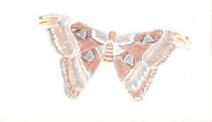 Atlas Moth WIP 8-11-13 001 by Aurora9912