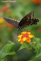Black Swallowtail on Latana by poetcrystaldawn