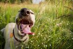 Happy whippet definition by beigesgdream