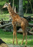 721 - giraffe by WolfC-Stock