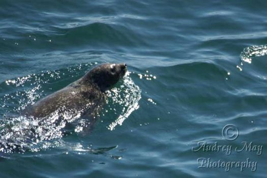 Seal by AudreyMayPhotography