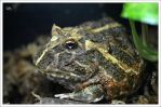 Cranwell's horned frog by hmdll
