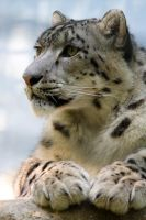 2545 - Snow leopard by Jay-Co