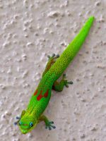 Gold Dust Day Gecko by joeyartist