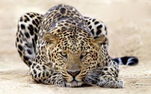 leopard in action by isidre