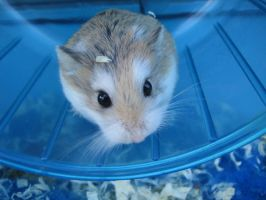 Hamster in wheel by Liindaa90