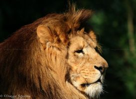 The Lion King by MorganeS-Photographe