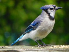 Bluejay by Lou-in-Canada