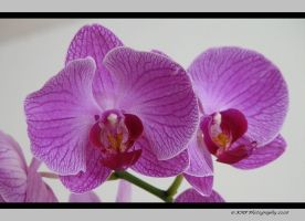 Orchids by picworth1000wrds