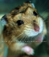 hamster by KFT-Andri