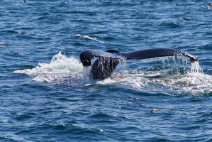 Humpback whale flukes by ayakomom