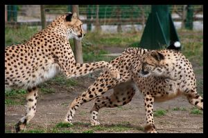 Cheetahs playing by AF--Photography