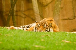 28 Tiger lying down front on by Chunga-Stock