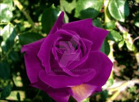 Violet rose by Be3a