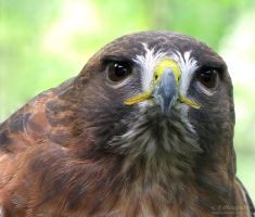 Red Tailed Hawk 559 by caybeach