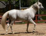 Andalusian Stallion - 48 by ElaineSeleneStock