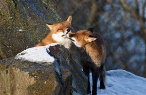 Cuddling Foxes by JRL5