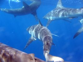 Galapagos Sharks by Yield2Desire