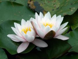 Two white waterlily by Evanderiel