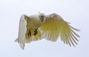 Sulphur Crested Cockatoo 87 by chezem