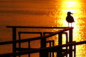 Sunset Seagull by nader-tharwat