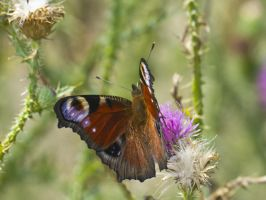 Peacock butterfly on a flower by An-Drake