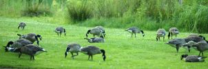Canada Geese Panorama by webcruiser