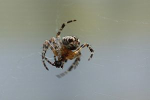 spider eating by marob0501