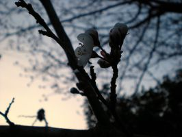 Plum Blossoms 2 by dancingmelons97
