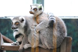 Zoo 6 Ring-Tailed Lemurs by PirateLotus-Stock