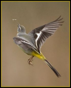 Grey wagtail in flight 1a by pixellence2