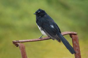 Willie Wagtail by AdamsWife