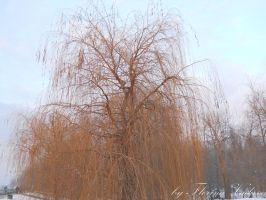 willow by florina23