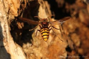 Hornet - Vespa crabro by RichardConstantinoff