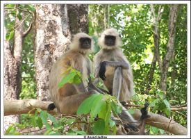 Bhandavgarh - Langur's 01 by Knightmare-at-9
