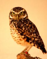 Burrowing Owl 3 by Tinap