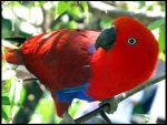 Eclectus Parrot by haydskies