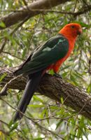 King Parrot by Misty-Mornings
