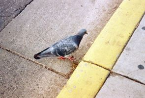 Pigeon at Yellow Curbside by Texas1964