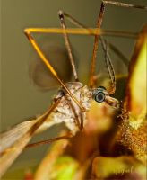 Crane Fly by FallOut99